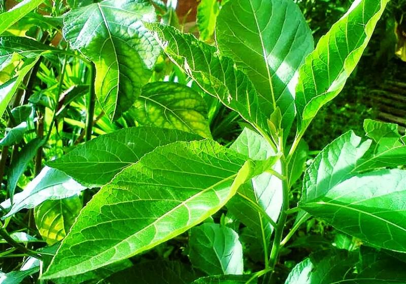 manfaat daun afrika untuk kecantikan